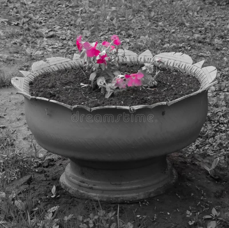 Roze bloembloemblaadjes in bloembed op een zwart-witte achtergrond stock afbeelding