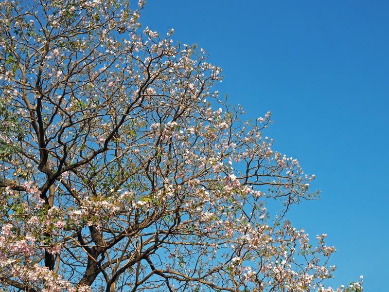 Roze bloemboom met blauwe hemel stock foto