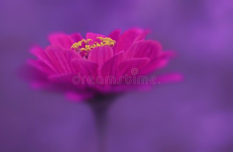 Roze bloemclose-up op een purpere vage achtergrond Zachte nadruk stock afbeeldingen