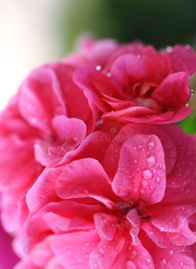 Roze bloemen _4 stock afbeeldingen