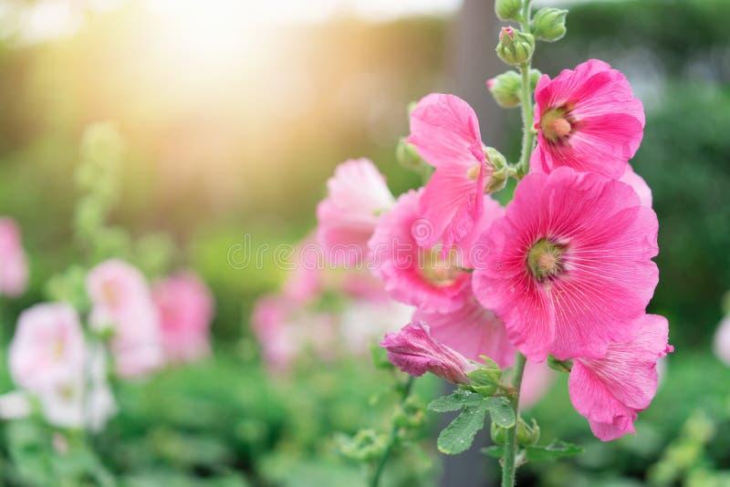 Roze bloemen bij de tuin royalty-vrije stock afbeelding