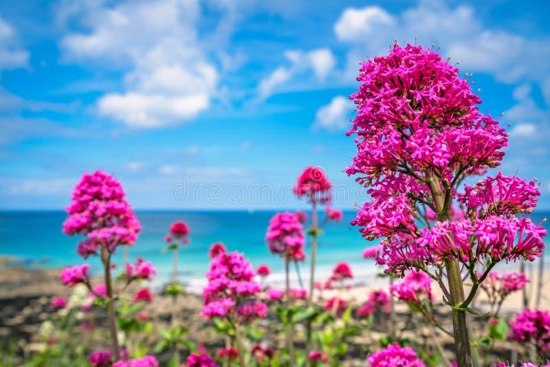 Roze bloemen boven St Ives Porthmeor strand stock foto's