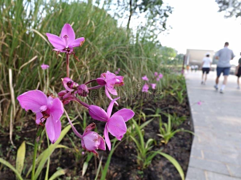 Roze bloemen buiten van de de Reserveuitbreiding van het Moerasland van Sungei Buloh de bezoekercentrum royalty-vrije stock fotografie