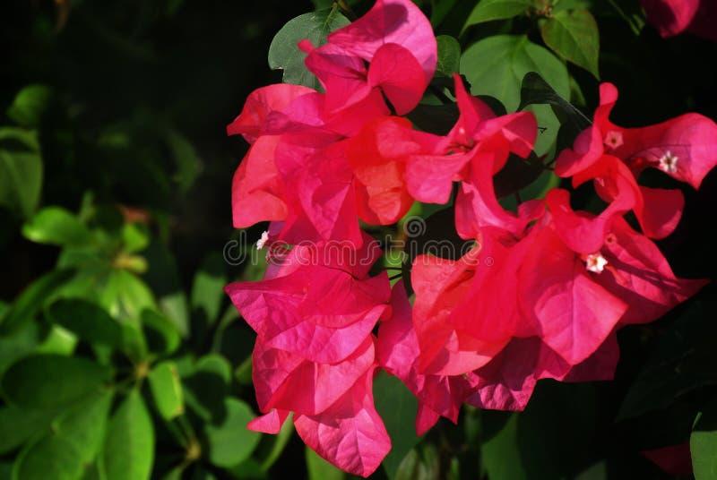 Roze bloemen in de tuin royalty-vrije illustratie