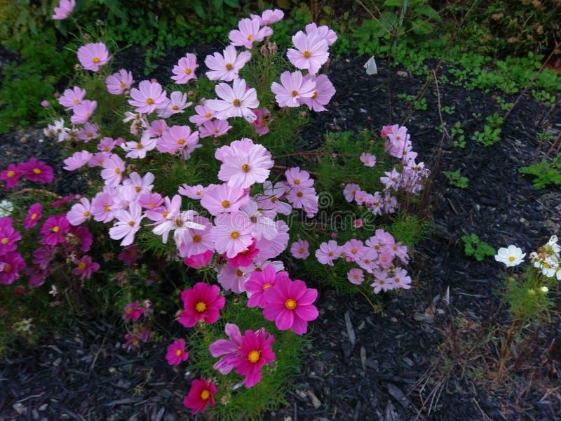 Roze Bloemen die in de Zomer bloeien royalty-vrije stock foto's