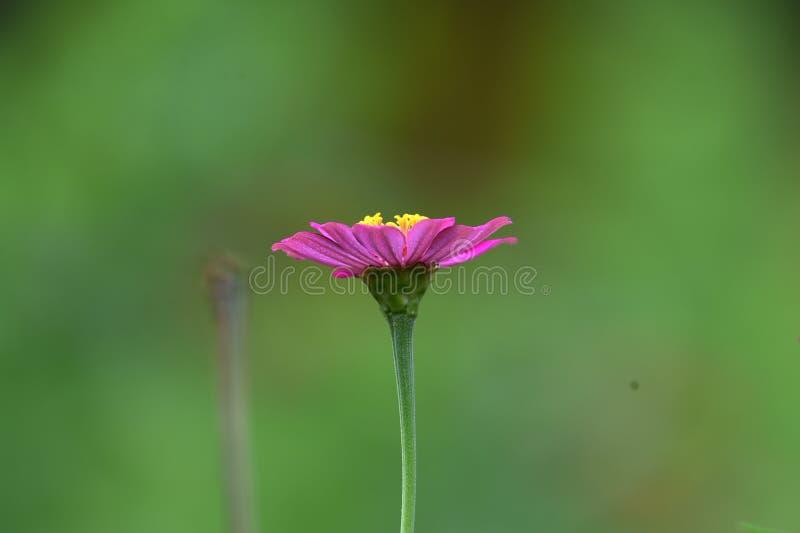 Roze bloemen die in het regenachtige seizoen bloeiend zijn stock afbeelding