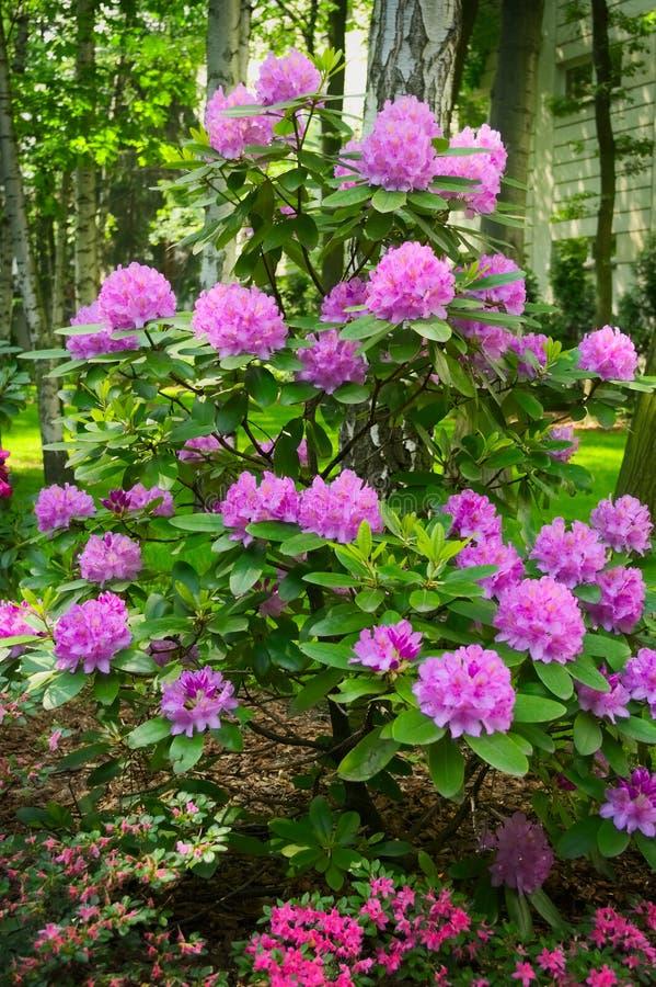 Roze bloemen die op bloeiende rododendronstruik groeien royalty-vrije stock afbeeldingen