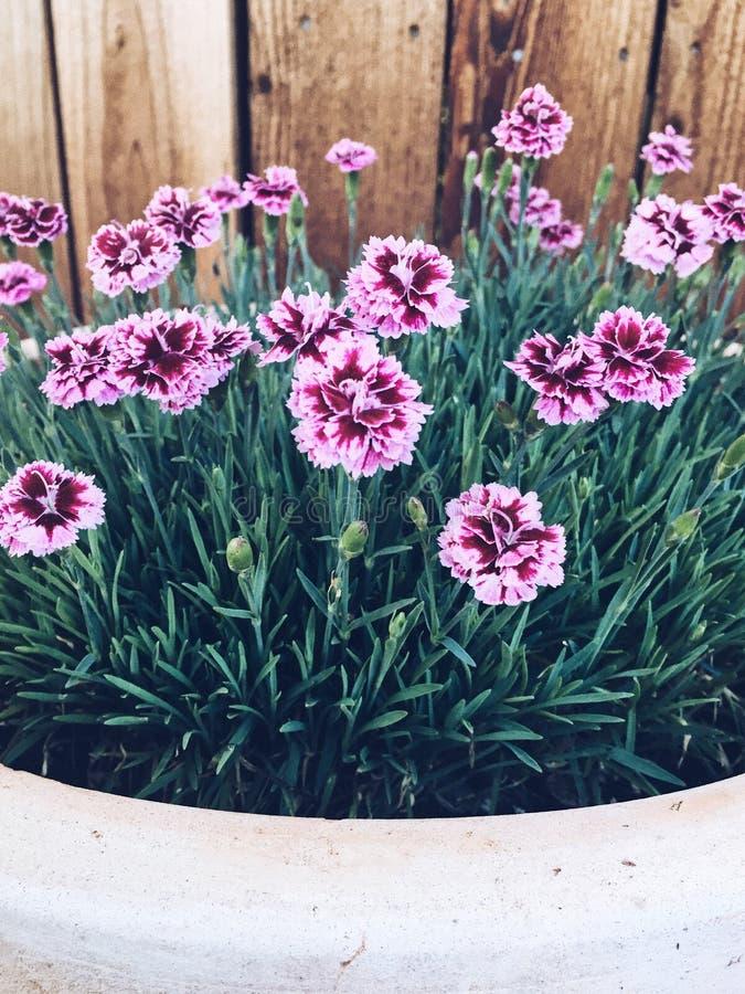 Roze bloemen in een bloempot stock fotografie