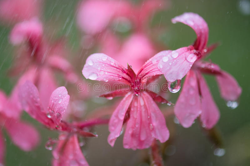 Roze Bloemen en regen stock foto's