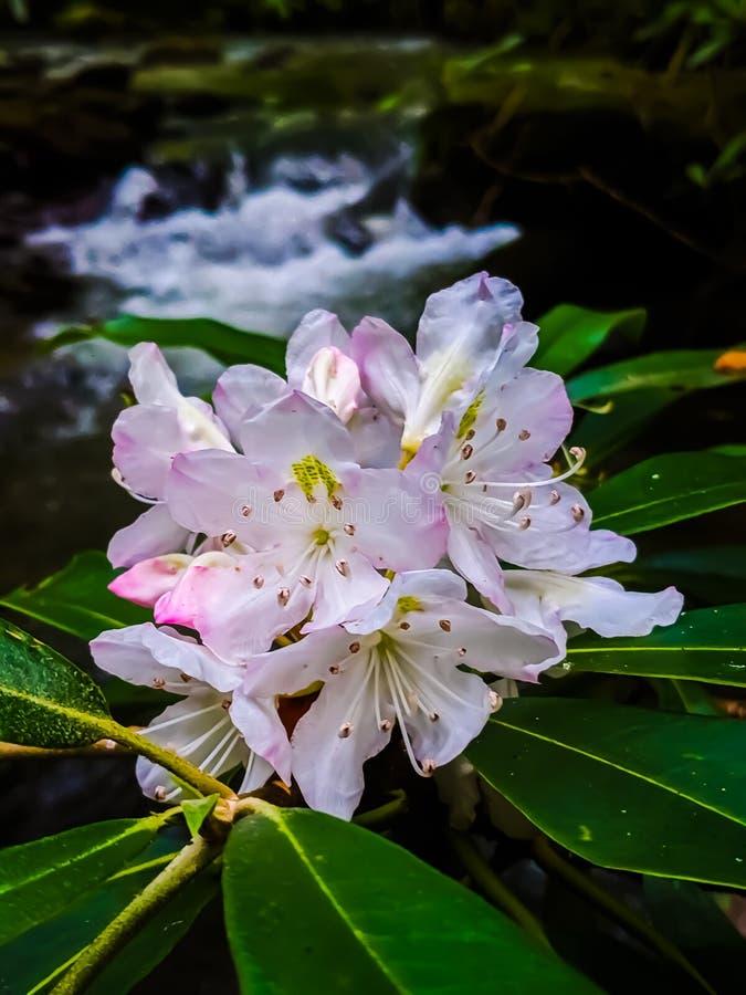 Roze bloemen en stroomversnellingen royalty-vrije stock foto