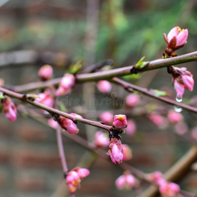 Roze Bloemen in Kashmir royalty-vrije stock foto's