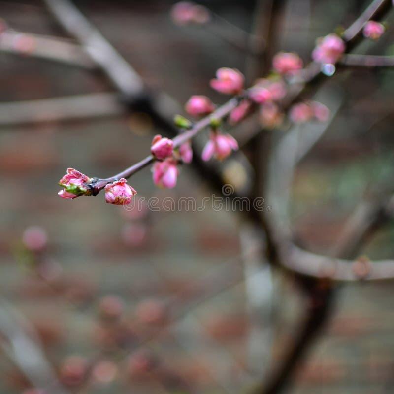 Roze Bloemen in Kashmir stock foto's