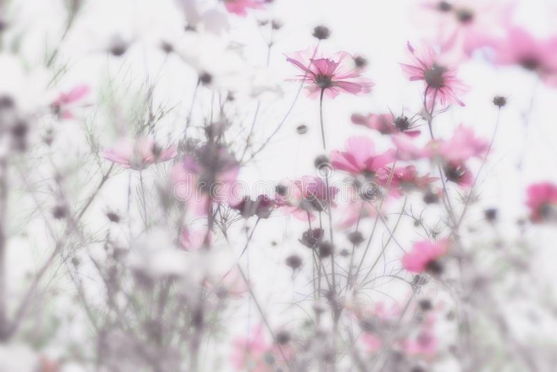 Roze bloemen met zachte en onscherpe witte achtergrond Dromerig effect stock afbeelding