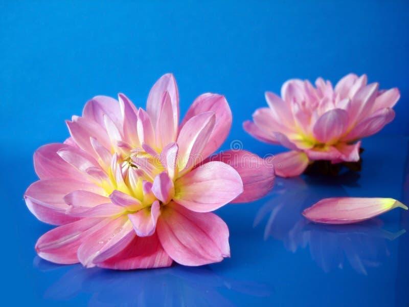 Roze bloemen op blauw royalty-vrije stock fotografie