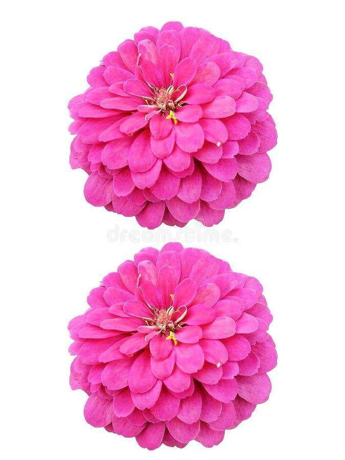 Roze bloemen op witte achtergrond stock afbeelding