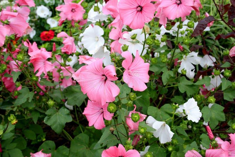 Roze Bloemen in tuin royalty-vrije stock foto's
