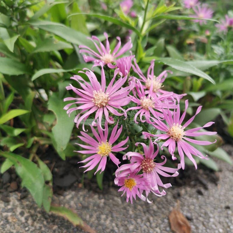 roze bloemen in tuin stock fotografie