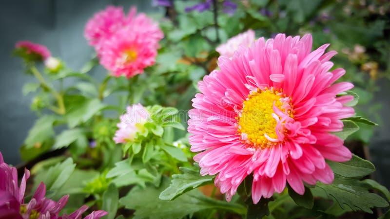 Roze bloemen in tuin op onscherpe achtergrond royalty-vrije stock foto