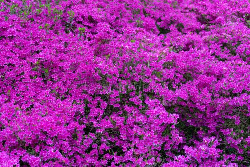Roze bloemen van Azaleajaponica, Rododendron als aardachtergrond royalty-vrije stock afbeeldingen