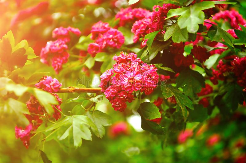 Roze bloemen van bloeiende haagdoornboom, in Latijnse Crataegus - spring achtergrond op stock foto
