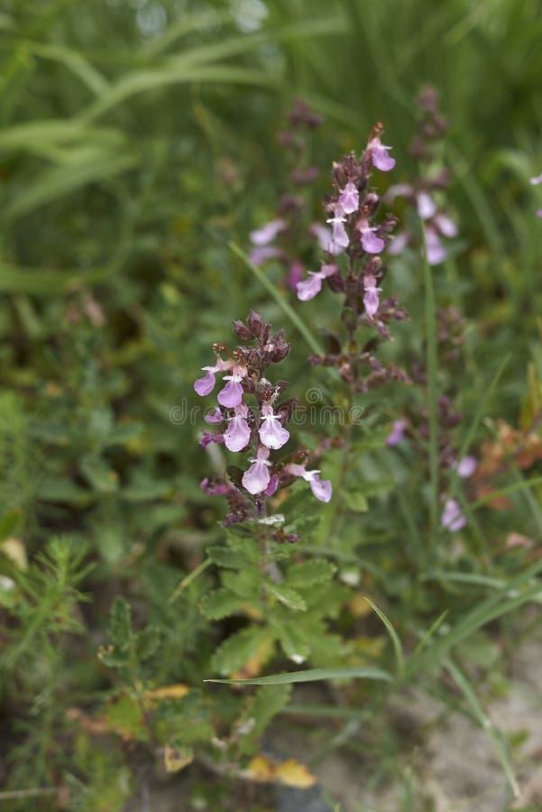 Roze bloemen van de installaties van Teucrium chamaedrys stock foto's