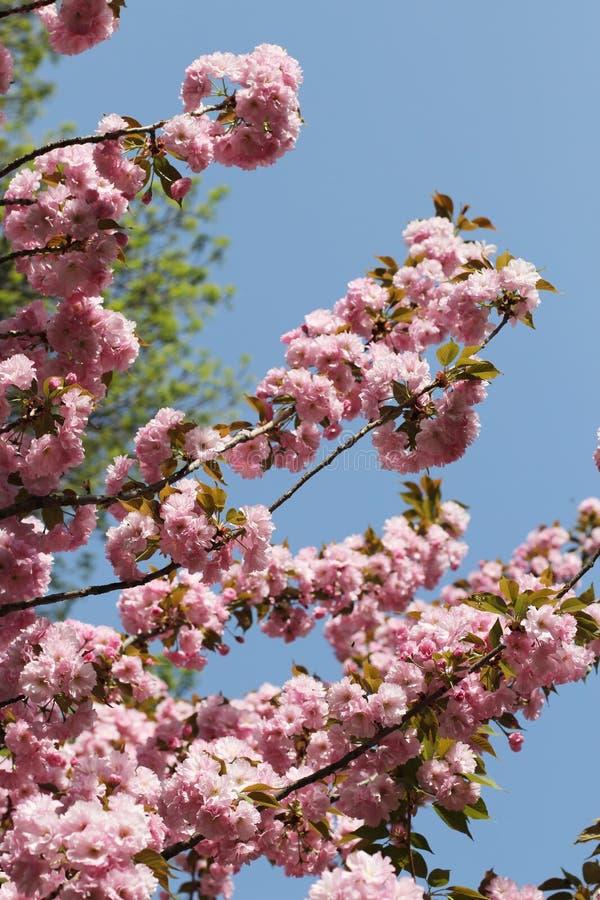 Roze bloemen van de Japanse kersenboom royalty-vrije stock afbeeldingen
