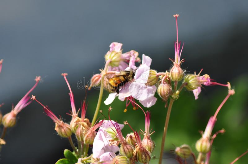Roze Bloemen van de Mooie Honey Bee Collecting Pollen From stock afbeelding