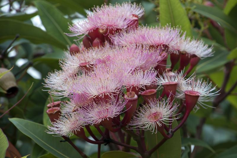 Roze bloemen van een corymbiaboom die deel van de eucalyptusfamilie uitmaakt royalty-vrije stock afbeeldingen