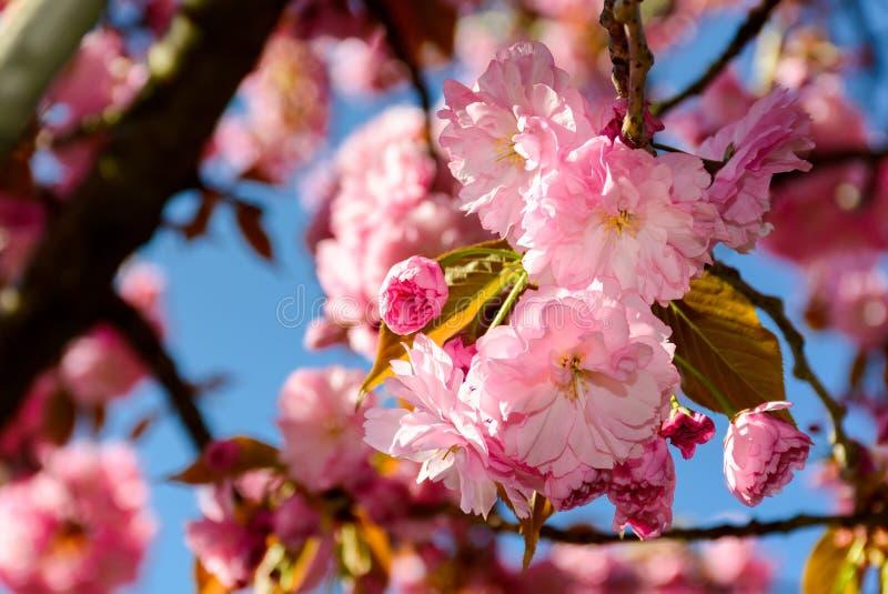 Roze bloemen van kersenbloesem onder de takken stock fotografie