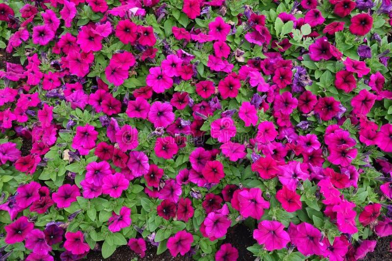 Roze bloemen van petunia in Juni stock fotografie