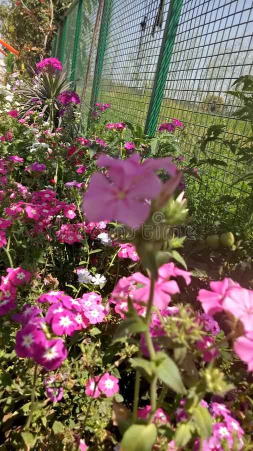Roze bloemen in zonlicht verbazingwekkende kleuren royalty-vrije stock foto's