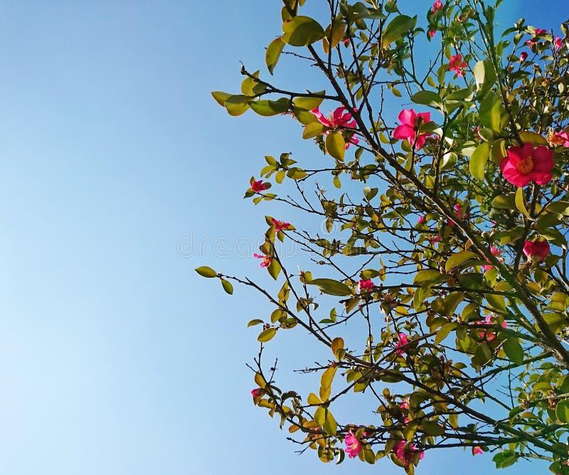 Roze bloemenboom stock fotografie