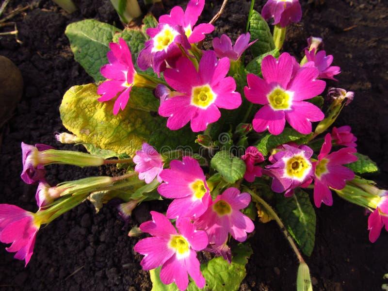Roze bloemenvegetatie in de close-up van de tuinlente royalty-vrije stock afbeelding