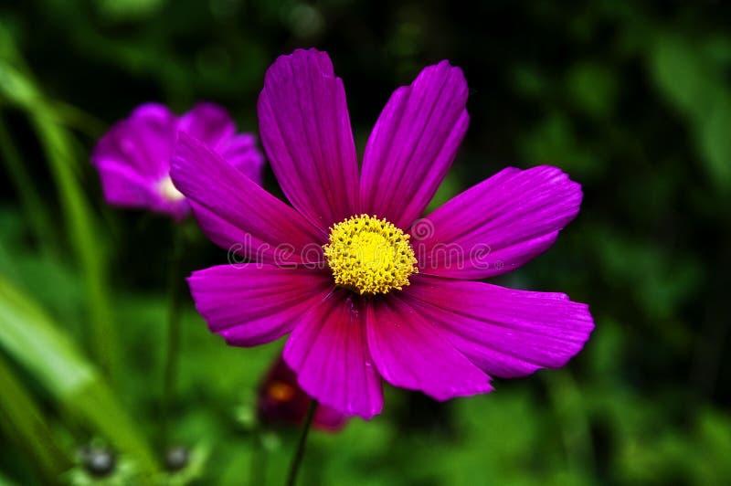 Roze bloemmacro stock afbeeldingen