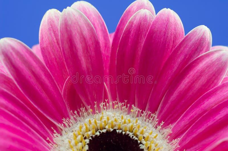 Roze bloemmacro stock fotografie
