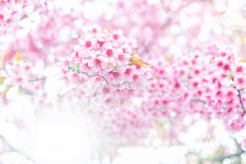 Roze bloemsakura van Thailand stock foto