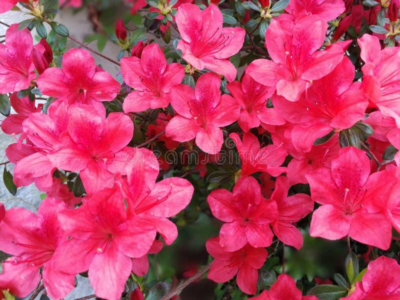 Roze bloemstruik in een tuin royalty-vrije stock fotografie