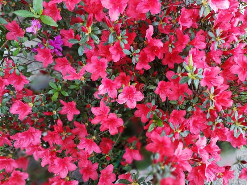 Roze bloemstruik in een tuin royalty-vrije stock foto's