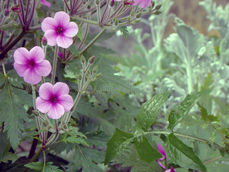 Roze bloemtrio royalty-vrije stock fotografie