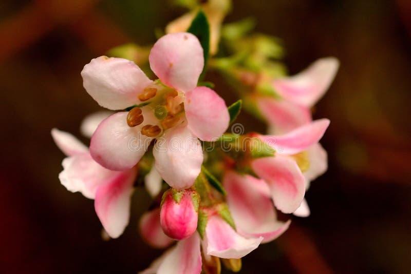 Roze bloesem royalty-vrije stock fotografie