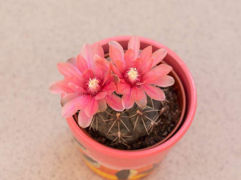Roze bloesem van cactusdetail royalty-vrije stock afbeeldingen