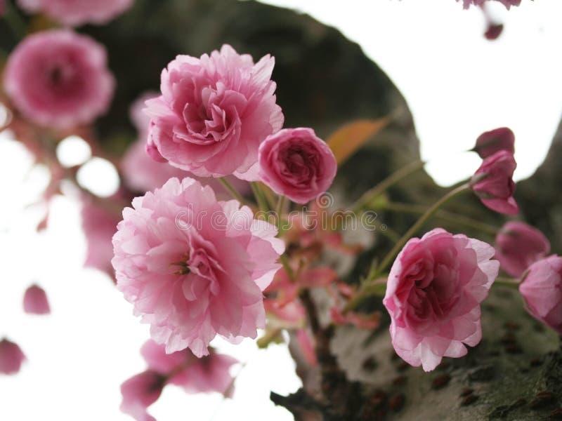 Roze bloesems stock foto