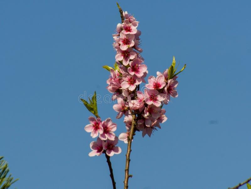 Roze bloosoms op blauwe hemel stock afbeelding