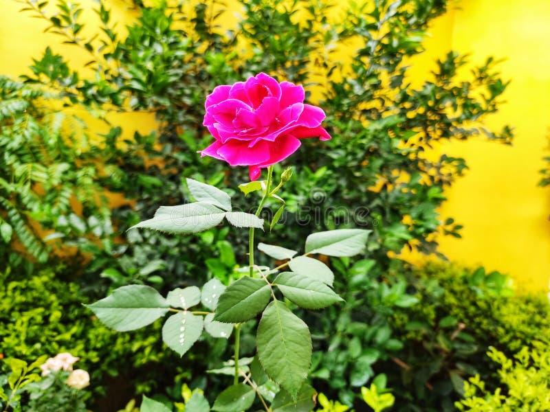 Roze bonito em meu jardim fotografia de stock royalty free