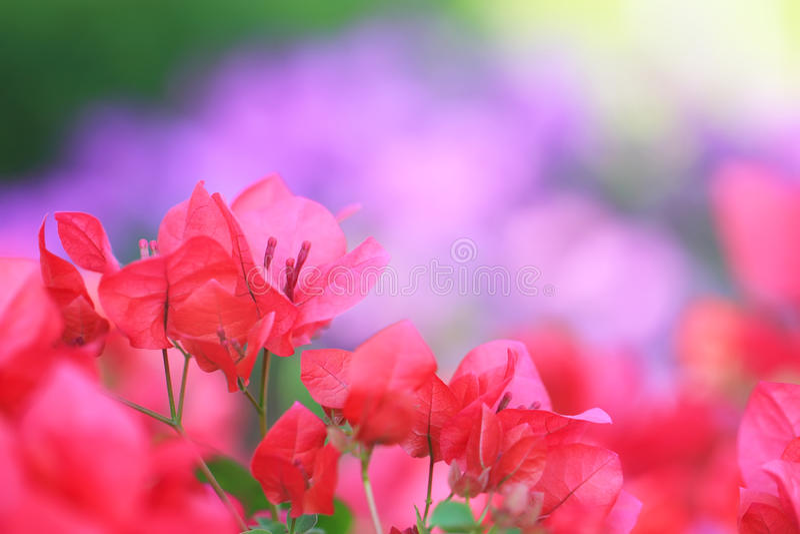 Roze Bougainvillea stock foto