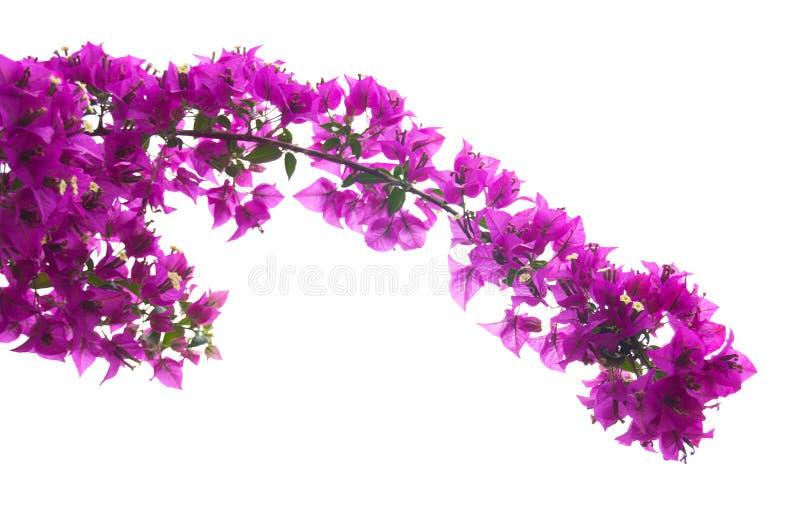 Roze bougainvillea royalty-vrije stock afbeeldingen
