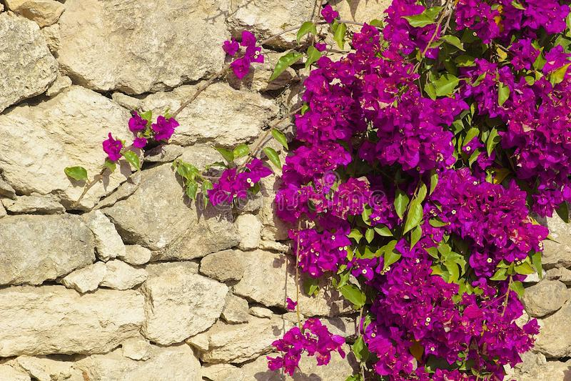 Roze Bougainvillea tegen oude Griekse muur royalty-vrije stock foto