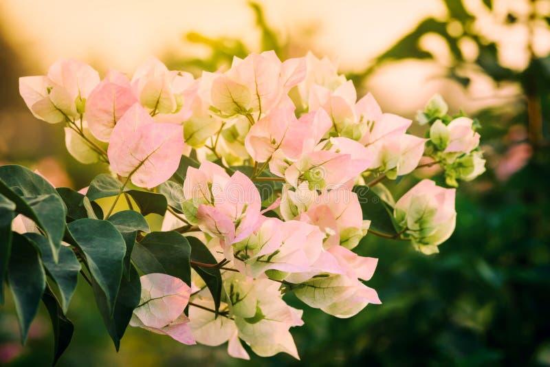 Roze bougainvilleabloemen stock afbeelding