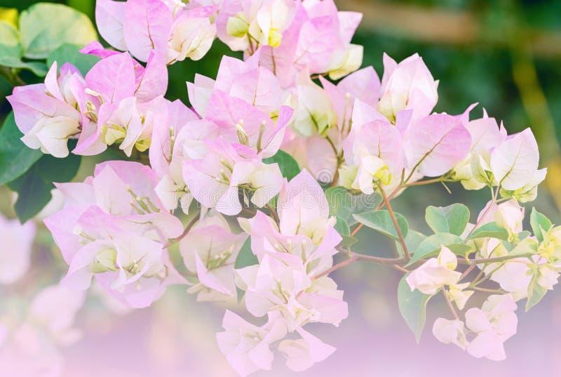 Roze bougainvilleabloemen stock afbeeldingen
