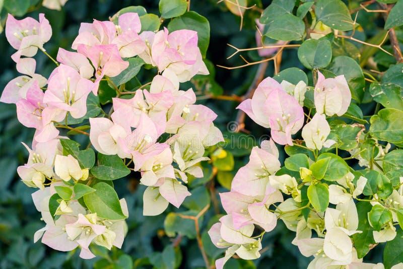 Roze bougainvilleabloemen royalty-vrije stock foto